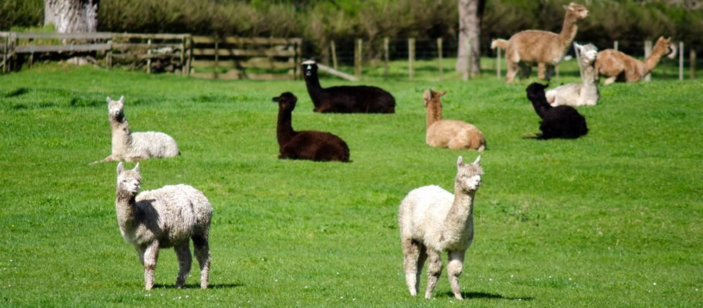 A Field of Alpacas